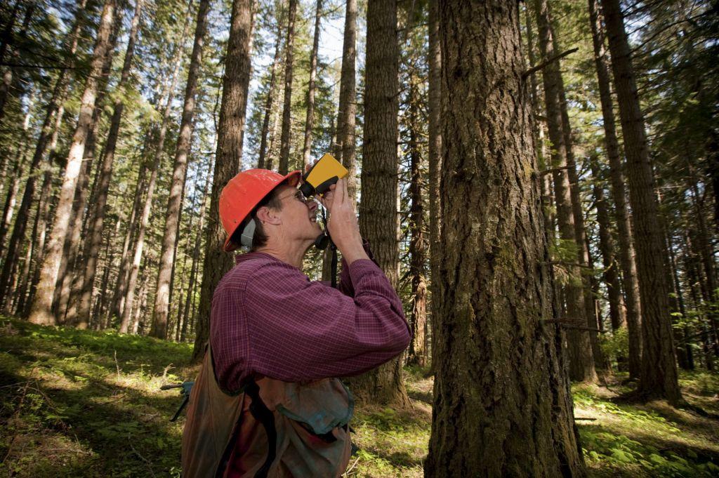 Taksator leśny podczas wykonywania taksacji drzewostanu w lesie